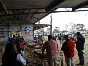The ewes go under the hammer.