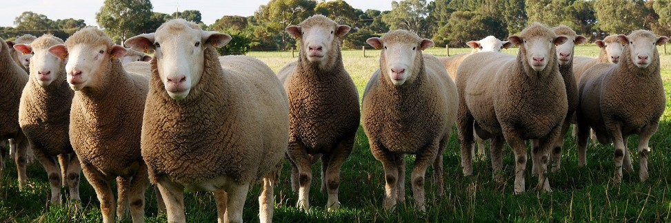 Newbold Prime Lamb Sires - Poll Dorset, White Suffolk, Texel