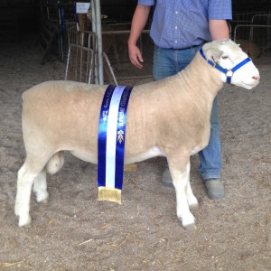 Newbold White Suffolk 358-16 - Adelaide Elite Sale PWWT 17.7 C+ 207