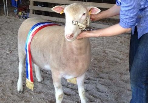 Newbold Gawler Show Champion Poll Dorset Ewe