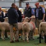 2nd Interbreed Lamb Production Pair Export
