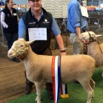 Champion Poll Dorset Ewe