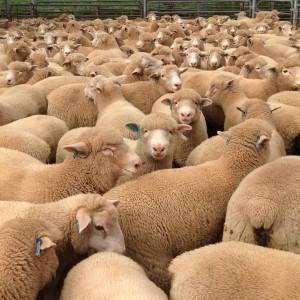 2015 Newbold Lambs