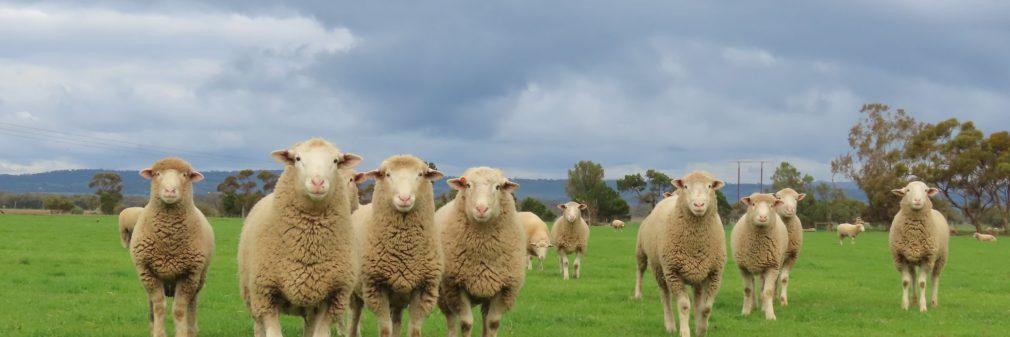 Newbold Flock Rams 2021